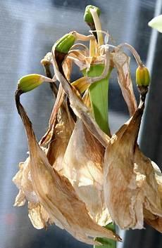 amaryllis pflege im sommer pin auf garten