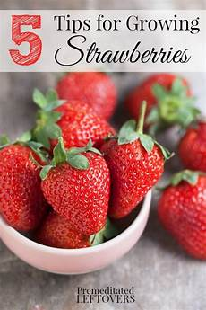 Gardening Strawberries by 5 Tips For Growing Strawberries