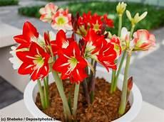 amaryllis giftig für katzen giftige pflanzen katze ein ratgeber haustiermagazin