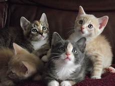 kittens for sale beautiful kittens for sale prescot merseyside pets4homes