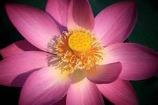 cycle of the lotus flower trivia koloa jodo botany