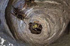 wespennest im boden entfernen