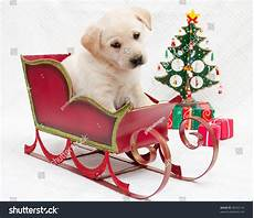 merry christmas portrait of cute labrador puppy in christmas sledge 90032143