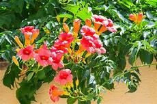 Fleur De Trompette Orange M 233 Diterran 233 Enne Image Stock