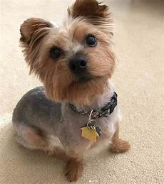 yorkie haircuts 151 extremely cute yorkie haircuts for your puppy
