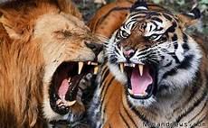 Pertarungan Si Raja Hutan Singa Lawan Harimau Siapakah