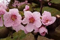fiori di rosa fiori di pesco fiori rosa fiori di pesco fiori rosa fiori di