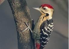 3 Jenis Burung Pelatuk Yang Perlu Dikethui Gambar