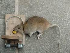tote ratte entsorgen ratten