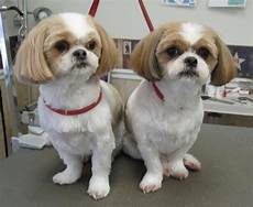 shih tzu haircuts shih tzus feeling clean and pretty after a pet grooming haircuts for