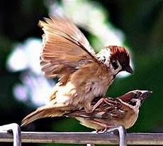 Membedakan Burung Gereja Jantan Dan Betina