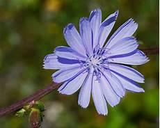 fiori di bach menopausa fiori di bach in menopausa chicory menopausa