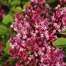 wann flieder schneiden lilac set flowering in pink shades lilacs