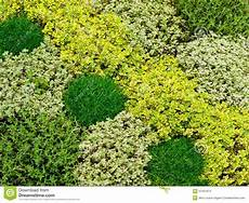 couvre sol sans entretien thyme plants stock image image of nature green aromatic
