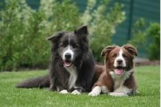 Ausmalbilder Hunde Border Collie Mybordercollie De Border Collies Machen Gl 252 Cklich