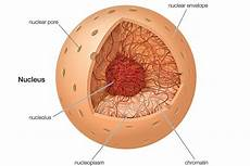 the nucleus definition structure and function