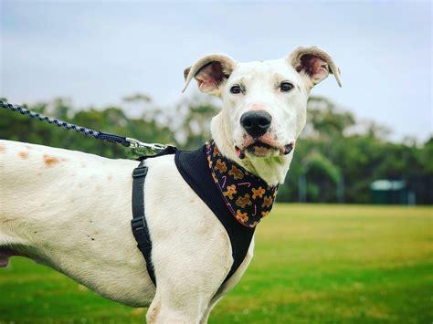 Great Dane X Greyhound