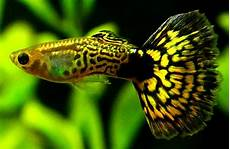 Gambar Ikan Guppy Cara Budidaya Ikan
