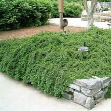 plante couvre sol persistant 40 best plantes pour talus images on plants