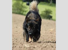 Welke Duitse Herder bedoel ik?   pagina 3   HondenForum
