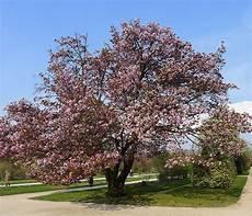 File P1240517 V Jardin Des Plantes Cerisier Du Japon