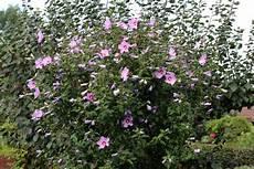 hibiskus strauch schneiden gartenhibiskus bl 252 ht nicht h 228 ufige ursachen und hilfen