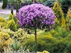 lilac tree lilac meyeri palibin grafted tree 100 cm
