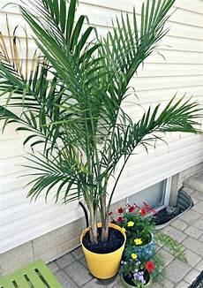 palmen für zuhause palmen fur zuhause 12 der schansten groaen zimmerpflanzen