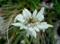 fiore edelweiss edelweiss alpine blume stockbild bild wei 223