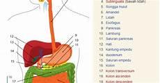 Sistem Pencernaan Pada Manusia Cara Belajar Sdn Mangkura