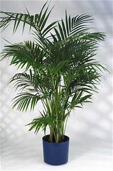 Caring For The Beautiful Kentia Palm Howea Forsteriana