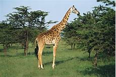 die giraffe duden giraffe rechtschreibung bedeutung definition