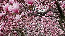 magnolia flower iphone wallpaper magnolia wallpapers wallpaper cave