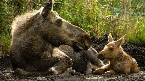 Stop Touching Baby Moose