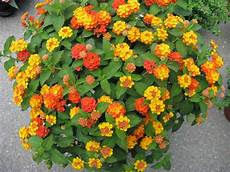 piante fiorite da terrazzo lantana