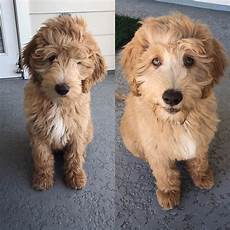 images puppy cut for a goldendoodle the ultimate labradoodle haircut guide labradoodles dogs