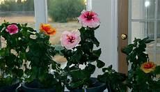Hibiskus Pflege Zimmerpflanze - hibiscus house plant care garden design ideas