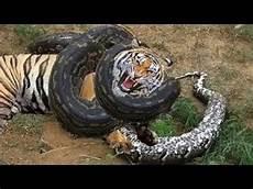 Anaconda Dan Pyton Vs Harimau Jaguar Singa Macan Tutul
