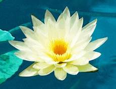 cycle of the lotus flower trivia koloa jodo facts about sunflower plants for with pictures ehow