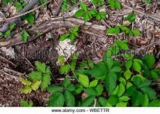 deutsche wespe vespula germanica auf boden essen motten