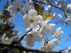 fior di ciliegio il ciliegio aikido sansepolcro