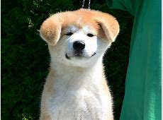 Hachiko   Akita Inu Puppy for sale   Euro Puppy