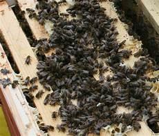 sterben bienen im winter bienen bienenstock bienenvolk