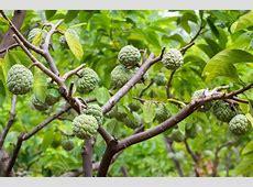 custard apple family fruit