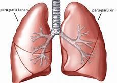 Organ Organ Sistem Pernapasan Manusia Beserta Fungsi Dan