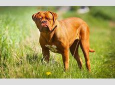 Bordeauxdog   Hondenrassen   Medpets.nl