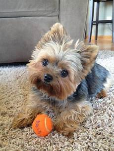 terrier haircut styles yorkie haircuts pictures coolest yorkshire terrier haircuts