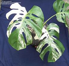 size picture of variegated split leaf philodendron