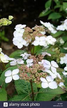hydrangea serrata koreana stockfoto lizenzfreies bild