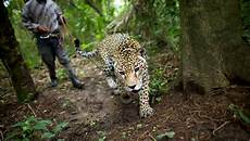 out for a leisurely stroll in the middle of a jungle the new york times